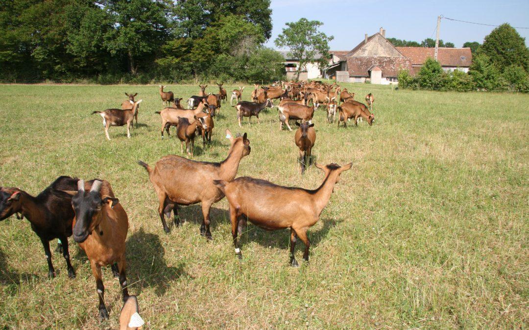 Visite des chèvres de Lucie à Poil