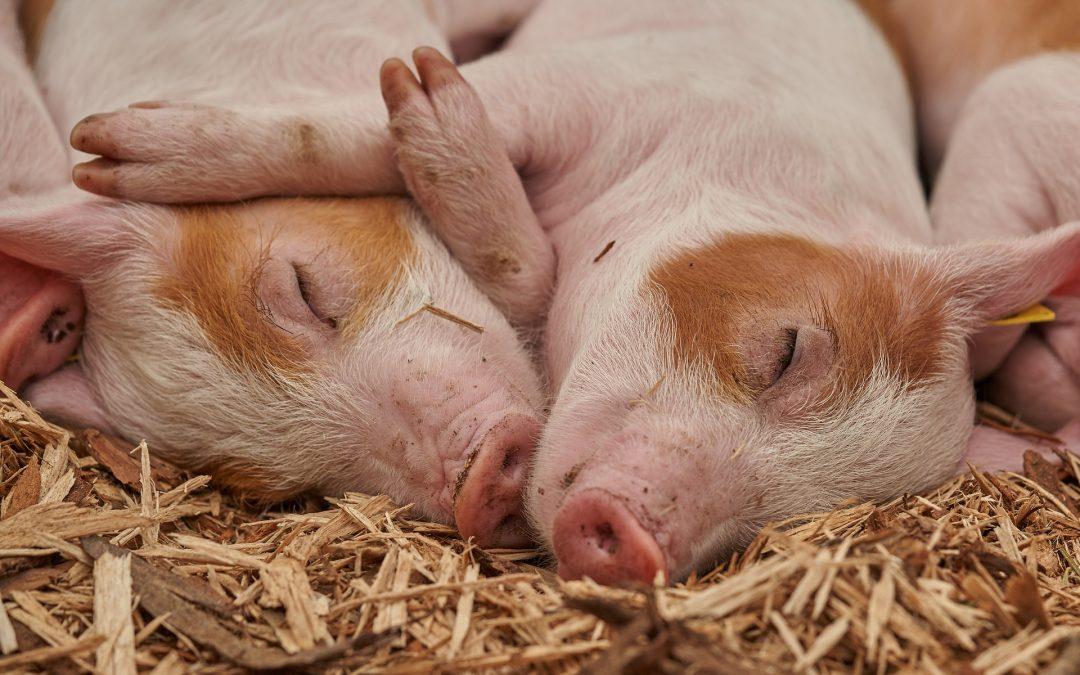 Visite de l'élevage Porc Plein Air Bio à Achun